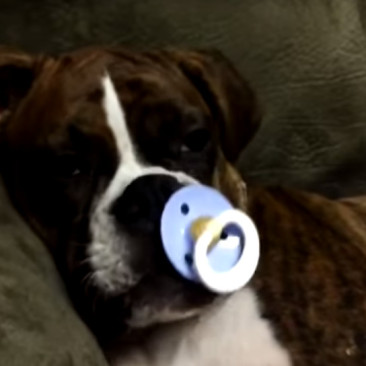 Dog sucks Pacifier and falls asleep