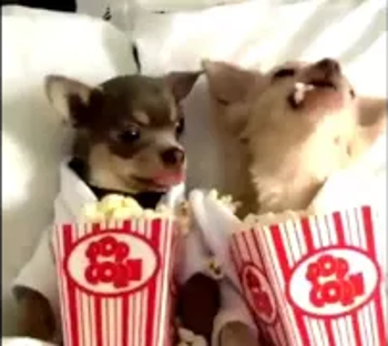 Chihuahuas Eating Popcorn